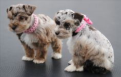 What sweet adorable  Miniature Schnauzer puppies!