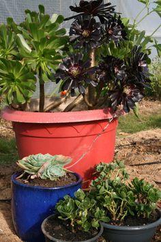 Comment conserver les succulentes et les plantes grasses en hiver? - Aeonium