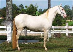 Lusitano - stallion Fantasma do Juliana