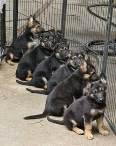Dogs:  #Short-Haired #German #Shepherd puppies.