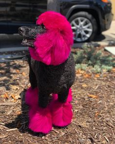 Products best for achieving the most outstanding colours: chalk, glitter gel, lightening cream + dyes Back to Creative Grooming Showcase Dog Grooming Styles, Poodle Grooming, Pet Grooming, Dog Hair Dye, Dog Dye, Poodle Hair, Black Lab Puppies, Corgi Puppies, Poodle Cuts