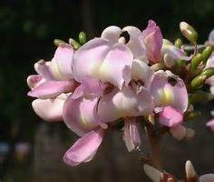 Gliricidia sepium Seeds, Madre de Cacao - - Yahoo Image Search Results