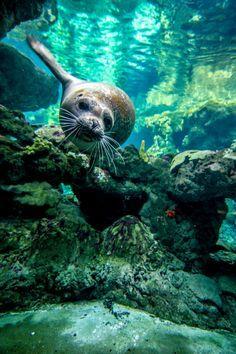 A solitary seal swimming through underwater caverns. A solitary seal swimming through underwater caverns. A solitary seal swimming through underwater caverns. Under The Water, Life Under The Sea, Fauna Marina, Wale, Underwater Life, Underwater Animals, Underwater Creatures, Ocean Creatures, Tier Fotos