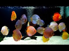 Simply AMAZING to see how a real discus farm and hatchery works. The legacy of Jack Wattley continues on with Gabe at the helm. Discus Fish For Sale, Aquarium Fish For Sale, Tropical Fish Aquarium, Whole30 Fish Recipes, Easy Fish Recipes, Baby Food Recipes, Discus Tank, Fish Tank, Tropical Freshwater Fish