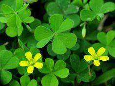 Shamrock ~ The National Flower of Ireland