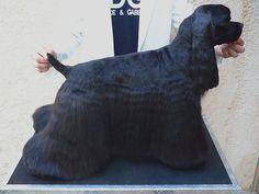 Black American Cocker Spaniel