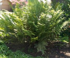 Woodwardia fimbriata-Giant Chain Fern Plant in '' pot Fern Plant, Shade Plants, Water Garden, Shade Garden, Patio Design, Ferns, Garden Inspiration, Evergreen, Home And Garden