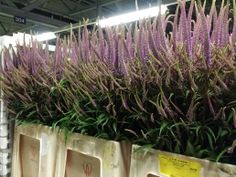 #Veronicastrum  Available at www.barendsen.nl