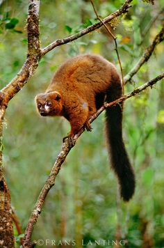 Red-bellied lemur on branch, Eulemur rubriventer, Ranomafana National Park, Madagascar