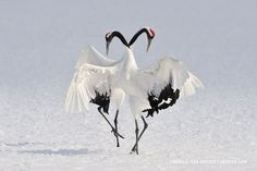 25 Most Beautiful Bird Photography examples and Tips for photographers - Japanese Cranes Exotic dance – Marsel van Oosten. Cranes are so graceful birds. Most Beautiful Birds, Pretty Birds, Love Birds, Simply Beautiful, Exotic Birds, Colorful Birds, Exotic Animals, Tropical Birds, Beautiful Creatures