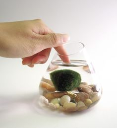 Marimo Water Terrarium Pet by wendiland on Etsy, $19.00...I'm curious as to what this is....