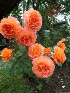 Rose (looks like a David Austin Rose. Beautiful Rose Flowers, All Flowers, Flowers Nature, Amazing Flowers, Exotic Flowers, Purple Flowers, White Flowers, Rose Foto, Dame Nature