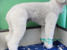 A couple of weeks ago one of the groomers that reads my blog asked me about how I set the pattern for my Lamb cuts. I will admit, this ...
