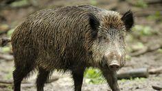 Diesdorf. Im Raum Diesdorf hat sich erstmalig der Verdacht der Aujeszkyschen Krankheit bestätigt. In einem erlegten Wildschwein wurden entsprechende Antikörper entdeckt. Amtstierärztin Elke Filter ruft alle Jäger zur Unterstützung auf.