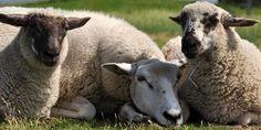 Fotografie vom Deich LKW Plane +Schafe für die ...