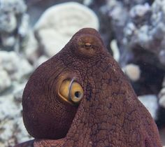 Octopus Chillin' Photo by Valerie Saidman -- National Geographic Your Shot