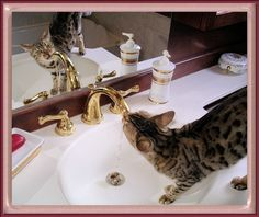 Bengal Cat in sink, getting a drink of water.