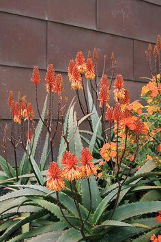Aloe camperi and Streptosolen jamesonii