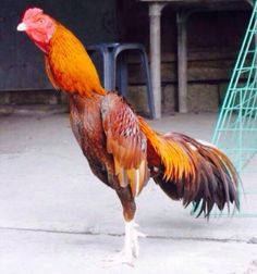Rooster World #Rooster