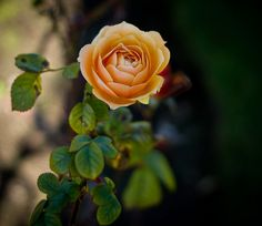 The First Rose (Explored) by stewartbaird, via Flickr