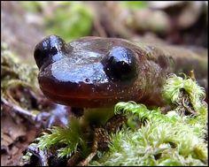 Salamandra-lusitânica (Chioglossa lusitanica)