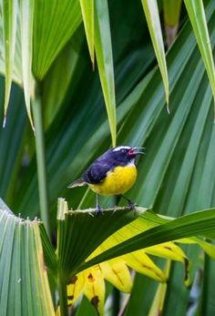 tropical bird of Martinique Martinique {photo by TOURRAL Thomas, 2013}
