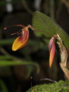 Mohrii Restrepia, nativa do Equador e norte do Peru, onde ela pode ser encontrada crescendo em altitudes em torno de 1400-1750 metros.  Fotos por Rogier van Vugt.