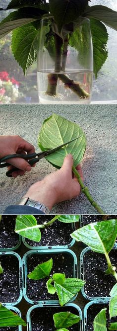Grow Hydrangea From Cutting. Great tutorial