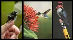 The Bee Hummingbird, from Cuba, is the world's smallest bird. It has a mass of 1.6–2 g (0.056–0.071 oz) and a length of 5–6 cm (2.0–2.4 in.)