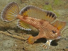 """""""The spotted handfish (Brachionichthys hirsutus) is a strange animal best known for its ability to walk on the ocean floor using its modified fins. Underwater Creatures, Underwater Life, Life Aquatic, Animal Habitats, Wale, Beautiful Fish, Sea Fish, Sea World, Ocean Life"""