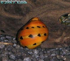 Devil Faunus snail - Faunus ater My aquarium Pinterest Snails ...