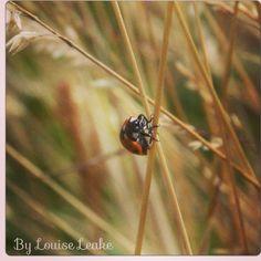 Ladybug Photo by Louise Leake