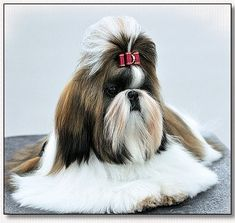 "Shih Tzu- Mr Foos  ""Amber""...modeling a burgundy dog bow in between size from Doggie Bow Ties!"