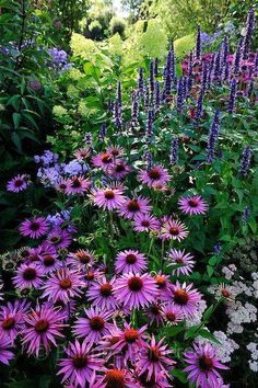 Echinacea purpurea After Midnight , Agastache .- Echinacea purpurea After Midnight , Agastache Blackadder Echinacea purpurea After Midnight , Agastache Blackadder - Beautiful Gardens, Beautiful Flowers, Beautiful Beautiful, Beautiful Pictures, Purple Garden, Garden Cottage, Meadow Garden, Dish Garden, Garden Bed