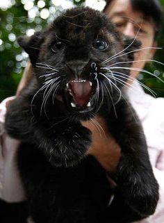 Panther Cub