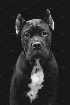 beautiful cane corso puppy by Sweet Studio on @creativemarket