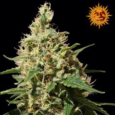 Legal Weed Fly is a Fast, Friendly, Discrete, Reliable cannabis online dispensary which ships top grade bud around the world. Buy marijuana Online USA and Buy marijuana online UK or general Buying marijuana online has been distinguished by the superior quality of our products and by our overall focus on wellness and wide variety of marijuana strains for recreational use. Go to .... https://www.legalweedfly.com Text or call +1 (347) 450-3676