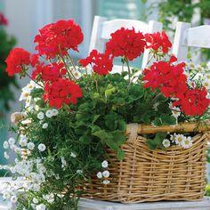 geraniums in pots | Visit geraniumsuk.com