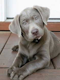 Silver Lab, can't wait to get one of these babies!