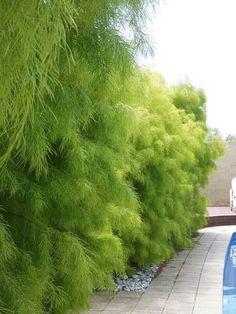 Acacia Cognata 'Lime Magik' - love this! may be too fluffy! there is a smaller version called cousin itt :-) Australian Native Garden, Australian Plants, Australian Native Flowers, Magic Garden, Dream Garden, Garden Shrubs, Shade Garden, Hedges, Winter Plants