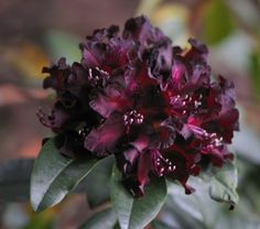 Rhododendron - 'Warlock'