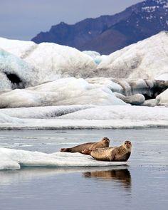 Jokulsarlon Seals, Iceland