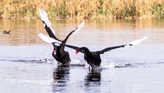 Black Swans@Herdsman Lake, Perth