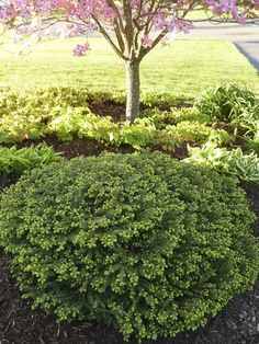 Picea / Bird's Nest Spruce. A very hardy, low maintenance evergreen that is great for edging next to sidewalks and driveways.