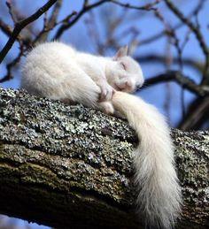 Albino squirrel sleeping on tree branch