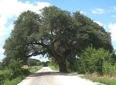 The Marriage Oak San Saba, Texas