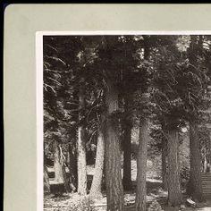 Picnic Grove, Mt. Tallac Park, Lake Tahoe Cal. :: Charles R. Savage