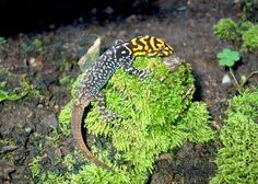 Gonatodes spp. - Dwarf Gecko