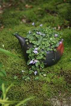 teapot planter with ivy-leaved toadflax