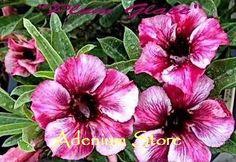Adenium 'Plum Glace Fragrant' 5 Seeds